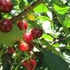 Blue Hills Berries & Cherries ブルーヒルズベリーズアンドチェリーズ