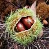 Ruefleur Chestnuts ルーフラー栗農園