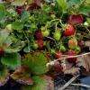 Hillwood Strawberry Farm ヒルウッドストロベリーファーム