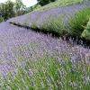 Warratina lavender Farm ワラティナ・ラベンダーファーム