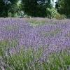 Lyndoch Lavender Farm and Cafe リンドックラベンダーファーム