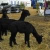 Tasmania Agfest タスマニア農業祭